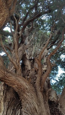Centuries old Olive tree, one of many ancient trees present. , sdssandie - October 2015