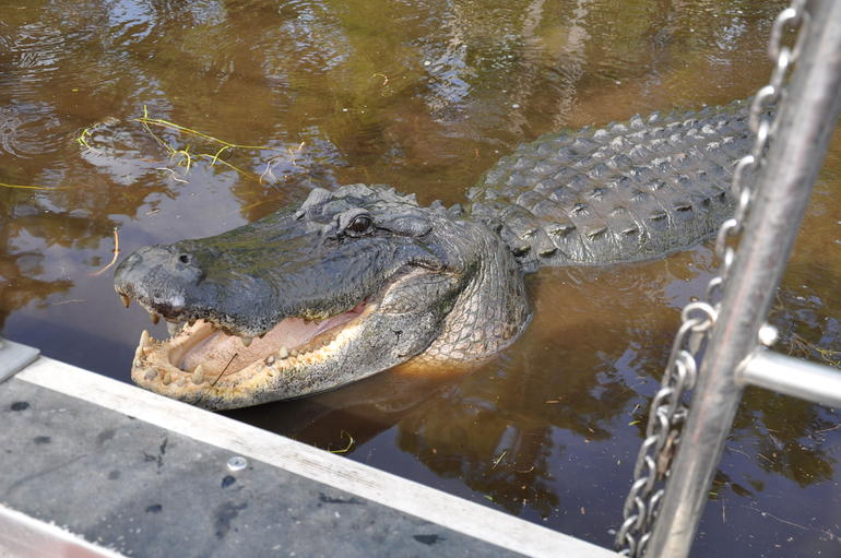 Never thought I'd get this close to a Gator - New Orleans