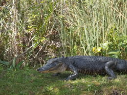 Photo of Miami Miami Everglades Airboat Adventure with Transport Alligator in the wild