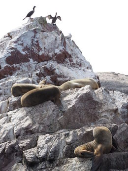 Sea lions on Ballestas islands , Katherine P - October 2015