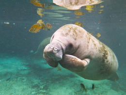 Photo of Orlando Self-Drive Swim with Manatees on the Crystal River Swim with Manatees on the Crystal River