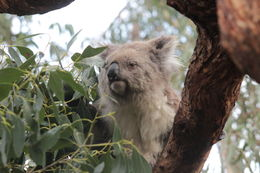 We saw several koalas at the Koala Sanctuary. , Nadège G - August 2015