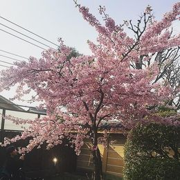 The beautiful Cherry Blossoms Sakura in bloom 22 March 2015 at the Sanjūsangen-dō Buddhist Temple. , Benjamin P - May 2015