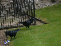 Two of the Ravens going walkabout. , Susan H - January 2015