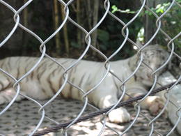 Photo of Bangkok Bangkok Safari World Zoo and Marine Park white tiger