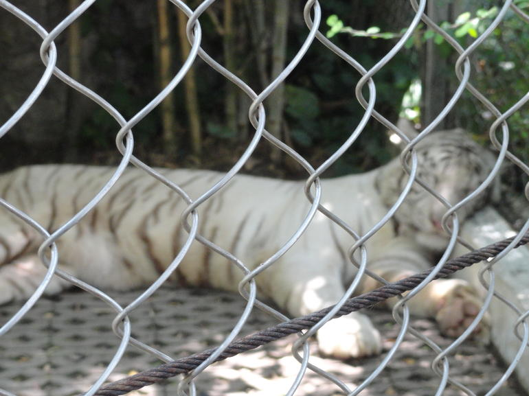 white tiger - Bangkok
