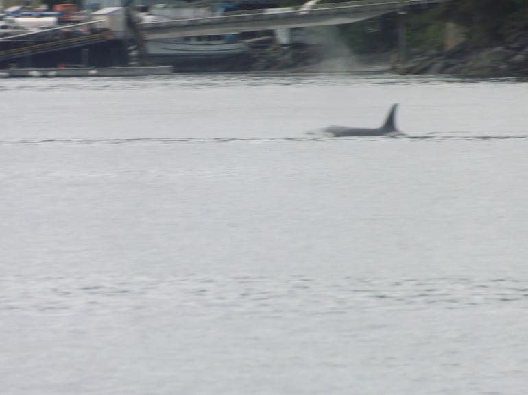 Orca in the bay - Juneau