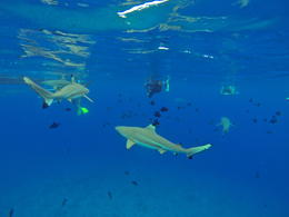 Photo of Bora Bora Bora Bora Snorkel, Shark and Ray Feeding Excursion Swimming with the sharks