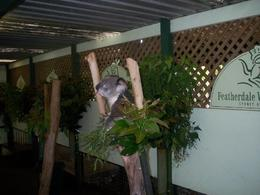 Photo of Sydney Blue Mountains Deluxe Small Group Eco Tour from Sydney The adorable Koala
