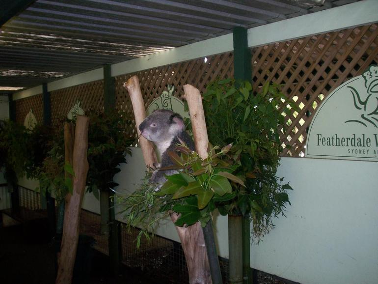 The adorable Koala - Sydney