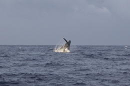 Whales jumping from the water! - May 2013