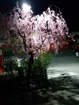 Photo of Tokyo Shinjuku and Kabukicho Evening Walking Tour Cherry Blossom