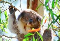 Photo of Melbourne Phillip Island: Penguins, Koalas and Kangaroos Day Tour from Melbourne