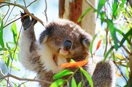 Photo of Melbourne Phillip Island: Penguins, Koalas and Kangaroos Day Tour from Melbourne Koala Cutie
