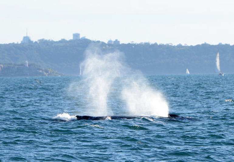 Whale Watching - Sydney