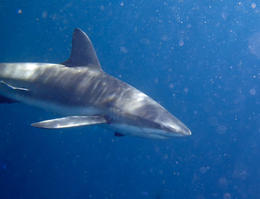 Shark on the shark dive , Richard R - July 2014