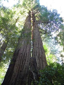 Photo of San Francisco Muir Woods, Giant Redwoods and Sausalito Half-Day Trip Muir Red wood