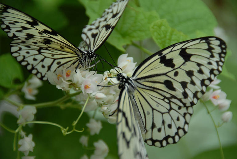 Black and white butterfly pair at Butterfly Reserve - Kuala Lumpur