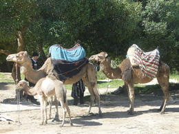 Photo of Malaga Morocco Day Trip from Malaga to Tangier Camels in Tangiers