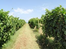The vineyard , MeghanG - July 2012