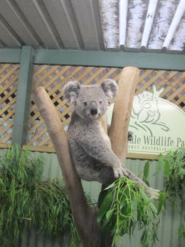 Photo of Sydney Blue Mountains Nature and Wildlife Day Tour from Sydney Koala