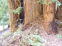 The trunks of the trees are large, Catherine K - April 2010
