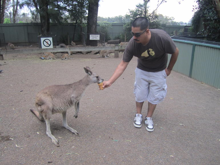 Feeding the Kangaroos - Sydney