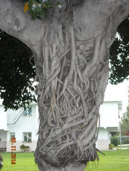 A tree with its roots around the trunk , Zenaida L - January 2015