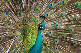 Photo of   Peacock spreading its feathers at Kuala Lumpur Bird Park