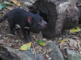 Photo of Sydney Blue Mountains Nature and Wildlife Day Tour from Sydney Tasmanian Devil