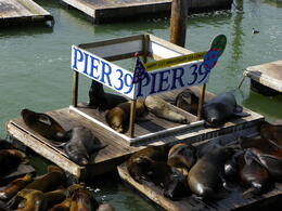 California Sea Lions who moved into the bay after an earthquake have made some barges their hangout. , Joanne S - March 2011