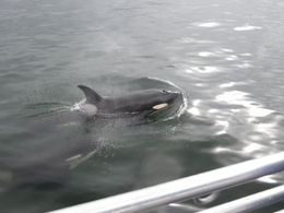 Two orca whales right by the boat! , Lori C - June 2016