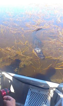 Alligator swimming right up to our boat....curious one , STEPHANIE B - February 2013