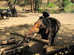 Photo of Chiang Mai & Chiang Rai Chiang Dao Elephant Jungle Trek and Ping River Rafting Tour from Chiang Mai Elephants doing work