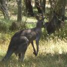Photo of Melbourne Grampians National Park and Australian Animals Small Group Tour from Melbourne Kangaroo