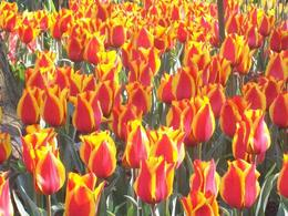Photo of Amsterdam Keukenhof Gardens and Tulip Fields Tour from Amsterdam One of my favorite flowers