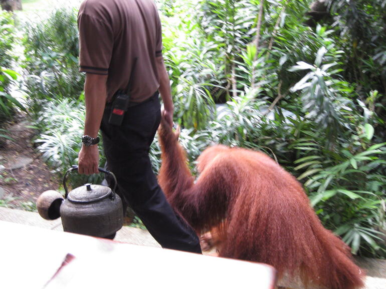 Orangutan Breakfast3 - Singapore