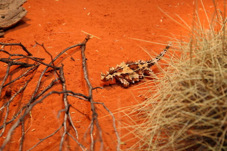 Thorny Devil (Moloch horridus), Kings Canyon - Ayers Rock