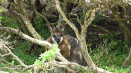 Guess what, a wallaby not hiding very well. , K M - December 2013