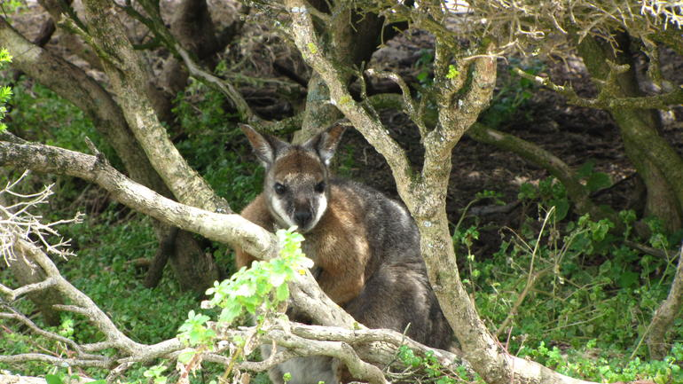 Wallaby hiding - Adelaide