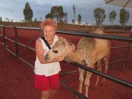 Photo of Ayers Rock Uluru Camel Express, Sunrise or Sunset Tours My new friend Milkshake