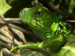 Green Iguana in tree en route to Tortuguero National Park. Replaces previous unedited picture , Britt B - May 2013