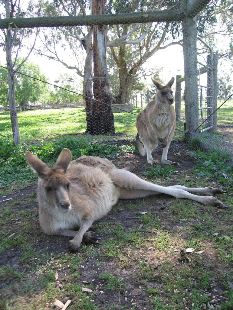 Kangaroos at the Warook Farm - Melbourne