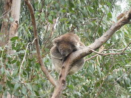 Photo of Melbourne Great Ocean Road Small-Group Eco-Tour from Melbourne Koala sleeping in a tree.