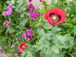 Many vibrantly colored flowers, arranged by hue and shape for aesthetics and possible painting subjects. This garden was a re-creation of the original, designed by Monet himself. , Megan E - June 2012