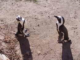 Photo of Cape Town Cape Point Sightseeing Tour Penguins welcoming us to their beach, Simonstown.