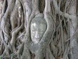 Wat Prasriratthanamahathat - Buddhas's head found in a tree, Graham D - July 2010