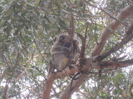 One of many koalas to be seen , K M - December 2013