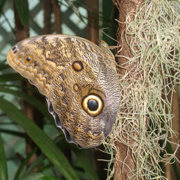 Photo of   Owl butterfly - Butterfly Gardens, Victoria BC
