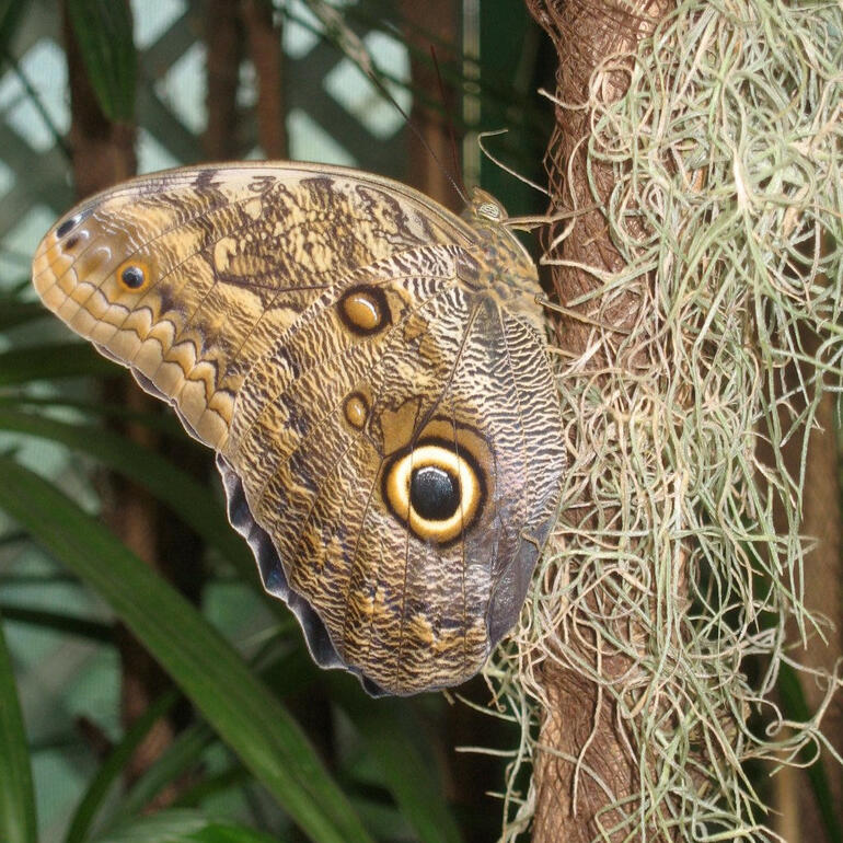 Owl butterfly - Butterfly Gardens, Victoria BC - Victoria